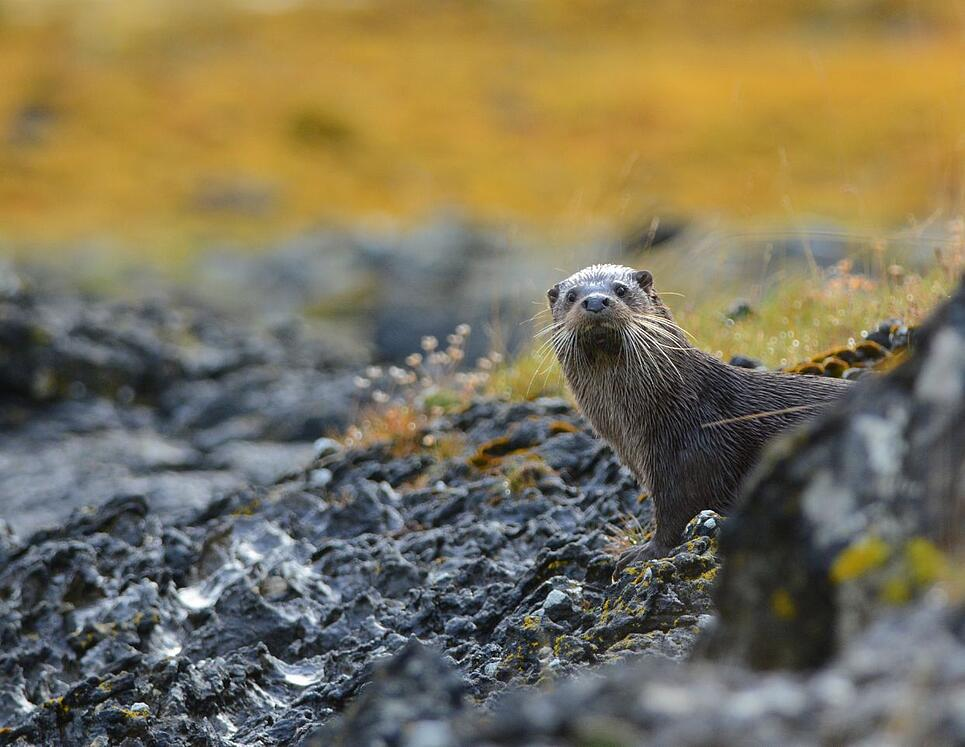 Otter in Lochinver, Scotland